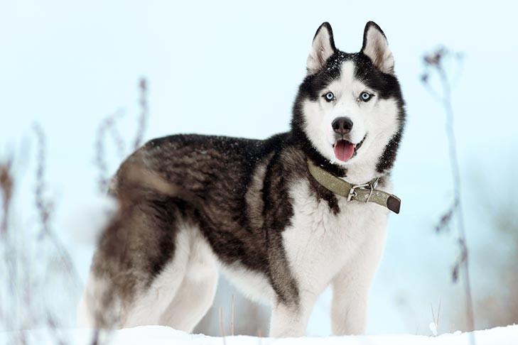 Siberian-Husky-standing-outdoors-in-the-winter.jpg