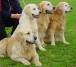 golden_retriever_02a.jpg